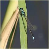 Blue-tailed Damselfly Female