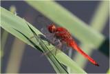 Red Scarlet Darter