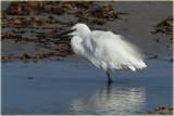 Liittle Egret