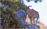 Aoudad aka Barbary Sheep