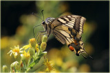 P.m gorganus Butterfly