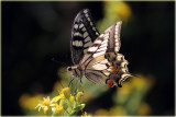 P.m gorganus Butterfly aka Swallowtail.JPG