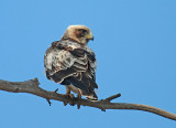 Booted Eagle Juv