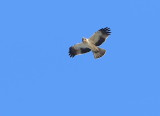 Botted Eagle