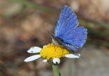 Blue Butterfly to ID.jpg