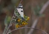 Green-Stripped White Butterfly 1.jpg