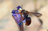 Bee Rhodanthidium SP