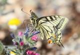 Swallow Butterfly
