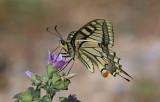Swallowtail Buttery