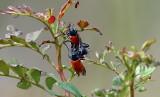 Lachania Tetrastigma aka Leaf Beetle