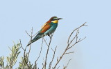 Bee Eater and Roller