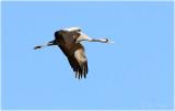 Common Cranes in Flight