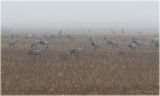 Common Cranes in an early morning fog