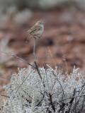 Rufous Fieldwren - Rosse Struiksluiper - Séricorne roussâtre