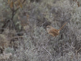 Thick-billed Grasswren