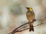 Grey-fronted Honeyeater