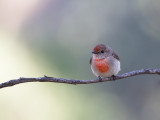 Red-capped Robin (imm)