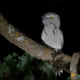 Tawny Frogmouth - Uilnachtzwaluw - Podarge gris