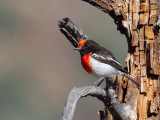 Red-capped Robin (m)