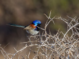 Variegated Fairywren (m)