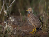 Plains-wanderer (f)