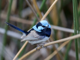 Superb Fairywren (m)
