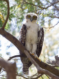 Powerful Owl (j)
