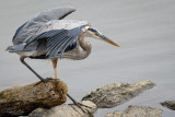 Blue heron on the prowl.
