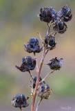 Purple people eaters seed pods?