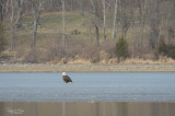 Bald eagle standing on frozen Lake Galena