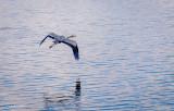 Gliding gracefully.