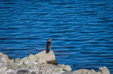 Lonesome cormorant