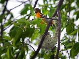 Northern Oriole nest / Nid d'Oriole du Nord