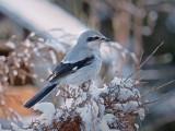 Pie grièche grise / Northern Shrike / Great grey shrike / Klapekster