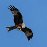 Red Kite with catch.-  In Flight Meal