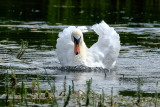 Swan on the River Test in Hampshire