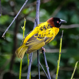 Weaver birds, also known as weaver finches