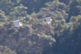 Orange-crested Cockatoo (Cacatua citrinocristata)