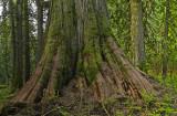 Treebeard 7x7-20usm.jpg