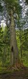 TREEBEARD VERTICAL ocusmac40hsb.jpg