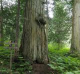 Big cedar tree50.jpg