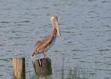 Alabama Brown Pelican
