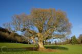 Winter tree in Killerton Estate