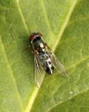 Platycheirus - female S17 #8823