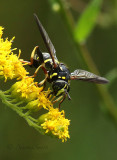 Spilomyia sayi S17 #3960