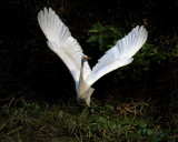 egrets_large_and_small