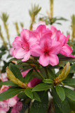 Pink flowers of ornamental Rhododendron bush in a Scottish garden although Rhododendron ponticim is an unwelcome invasive specie