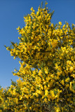 Yellow flowers of Cytisus scoparius common or Scotch broom against a blue sky in North Connel at Oban Airport Scotland UK