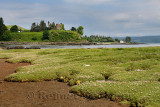 Salt marsh grass with Sea Thrift on shore of Sound of Mull with Aros Castle ruin near Salem Isle of Mull Inner Hebrides Scotland
