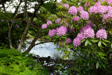 Invasive Rhododendron Ponticum and bracken on the River Ba at Benmore Estate in Knock on Isle of Mull Inner Hebrides Scotland UK